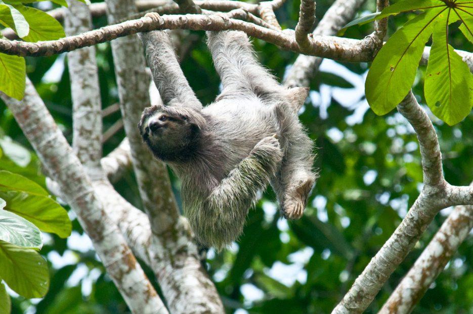 costa-rica-sloth-940x709
